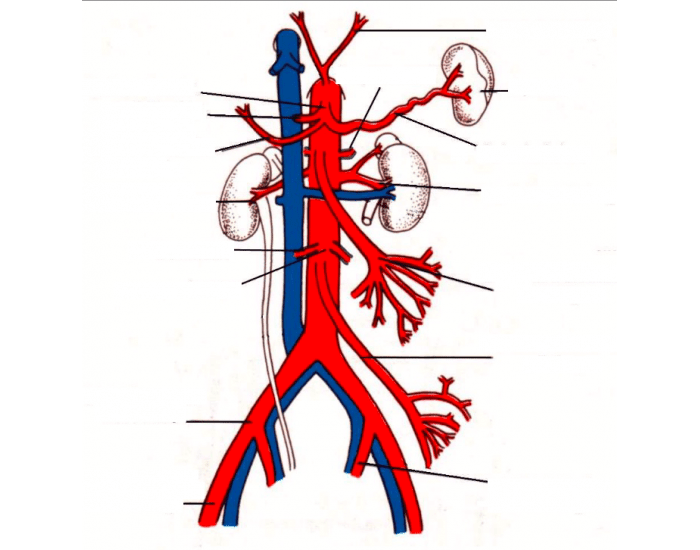 Memorizing Aorta, IVC, and Branches