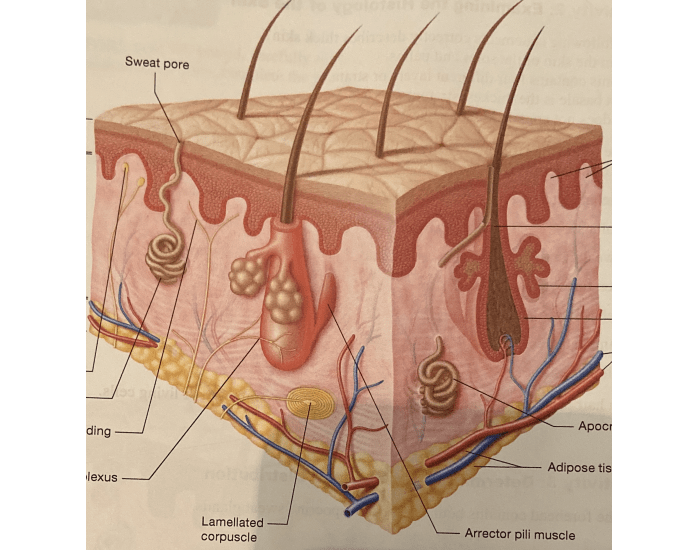 basic structures of skin