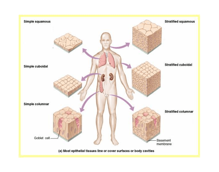 Location&Function of Epithelial tissues