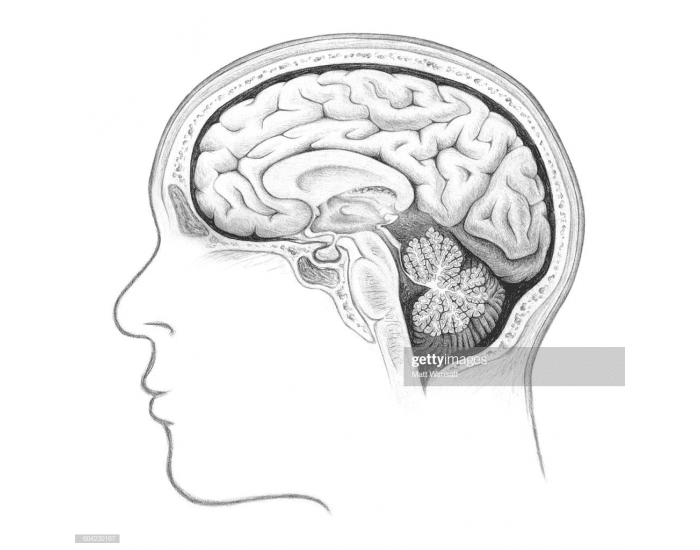 Lateral View of Brain
