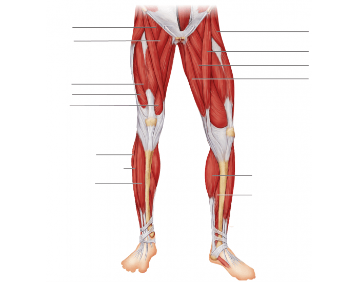 Muscles of anterior leg