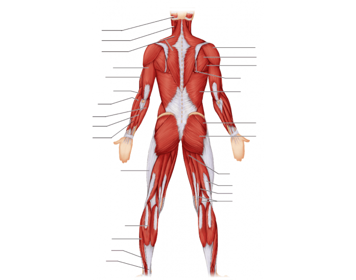 Muscles of posterior body