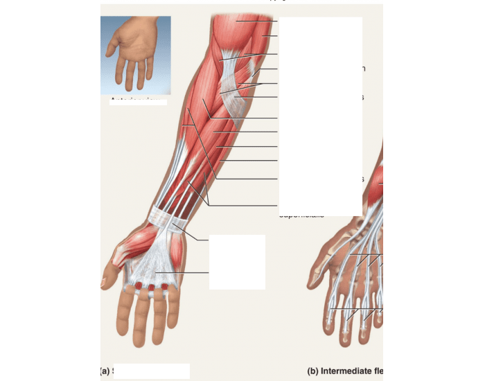 lab 9 muscles of the forearm 1