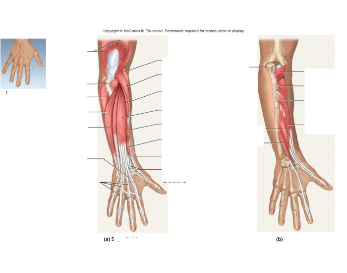 lab 9 muscles of the forearm 3