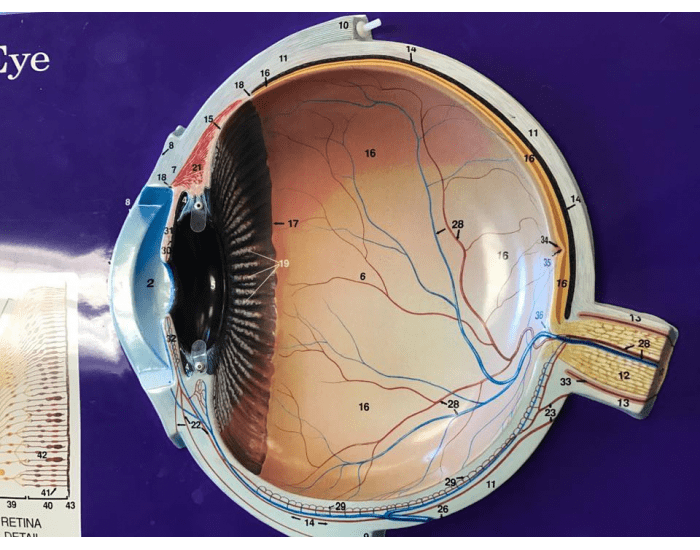 eye anatomical structures