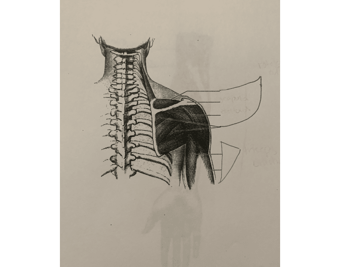 Shoulder muscles- posterior view - Printable