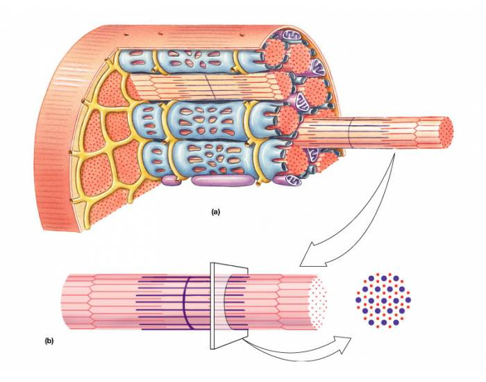 Muscle Fiber Anatomy Purposegames