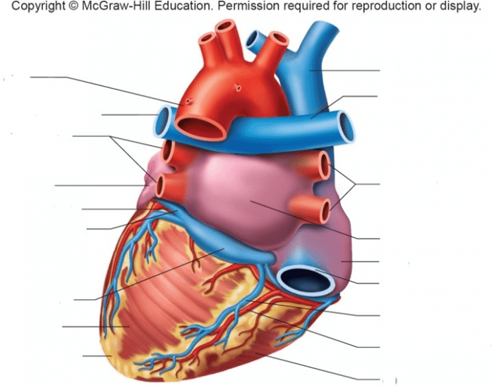 Posterior Heart Structure