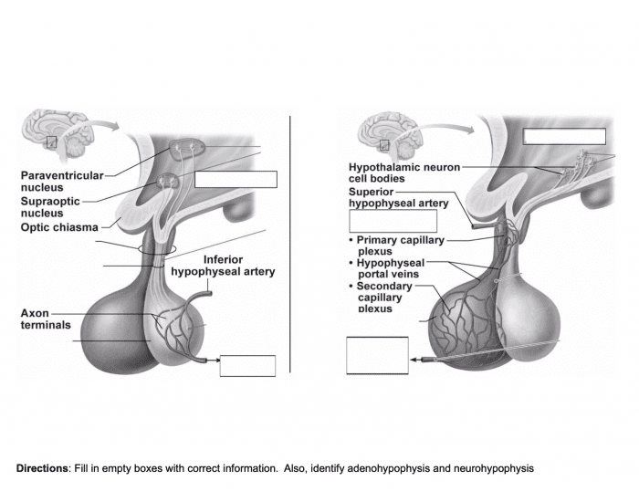 Hypothalamus and Pituitary Interactions