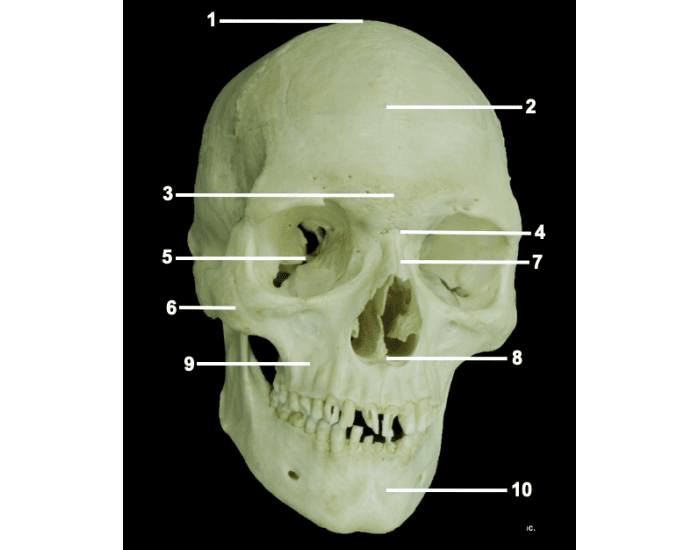 frontal view of skull