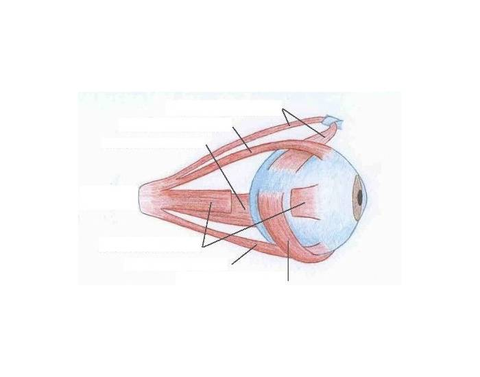label the muscles of the eye PurposeGames