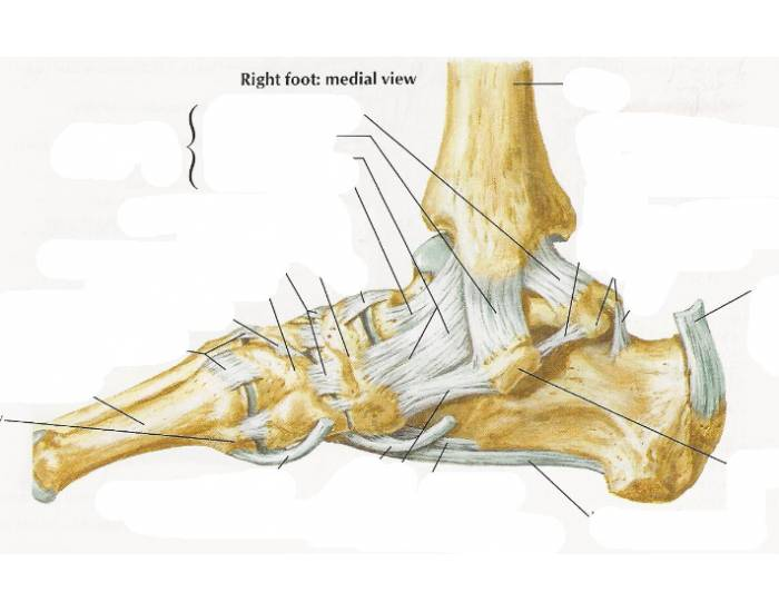 Ligaments And Tendons Of Ankle Right Foot Medial Purposegames