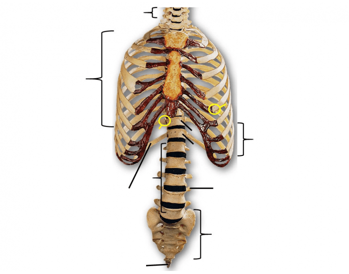 BIOL 162: Thoracic cage labeling (anterior view)
