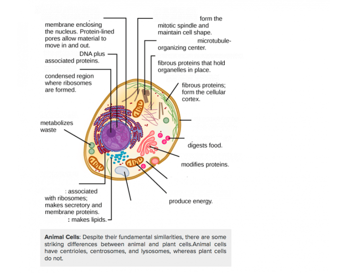 Animal cell structure and function