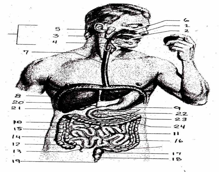 the digestive track Do you struggle with digestive issues statistically, many of us do, and there seems to be an ever-growing array of over-the-counter help to improve digestion.