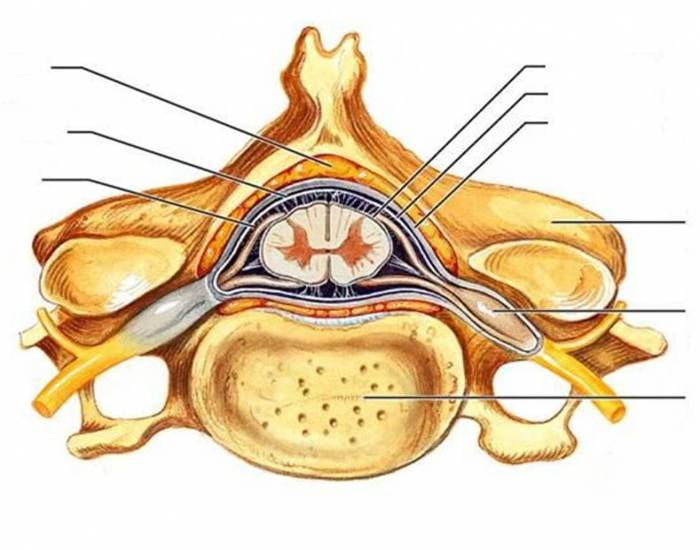Spinal Cord Cross Section Purposegames