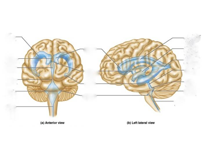 P5: Ventricles of the Brain 2