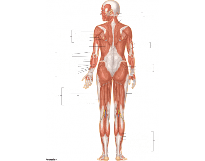 Posterior Major Muscles