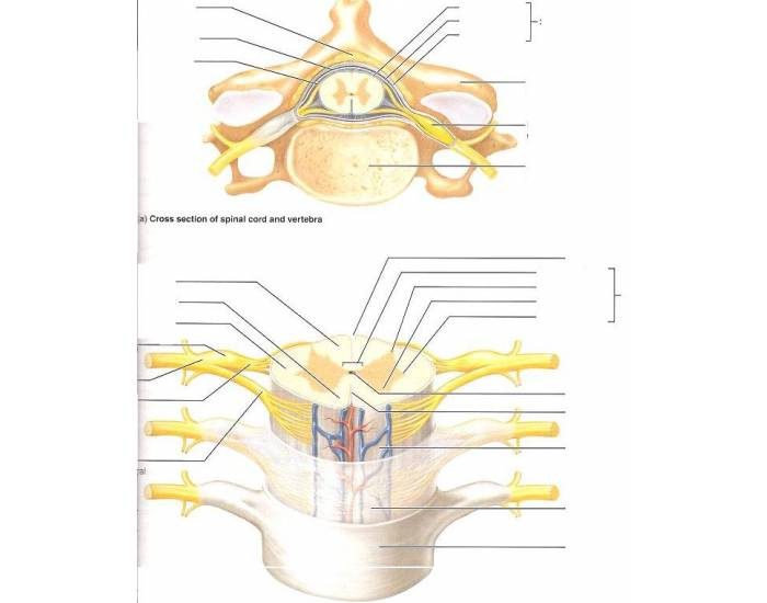 Cross Section of Spinal Cord and Vertebrae