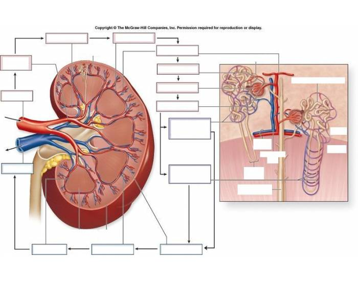 Game statistics blood flow in the kidney purposegames blood flow in the kidney ccuart Choice Image