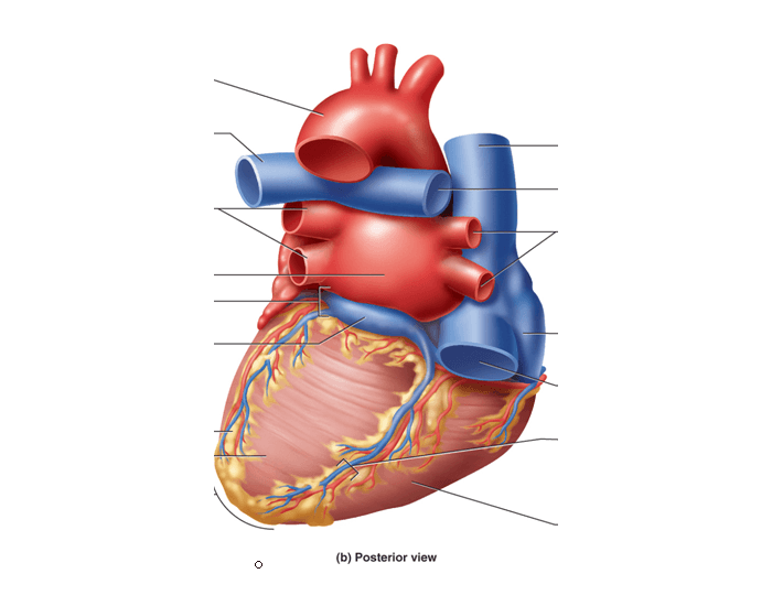 Posterior View Of Surface Anatomy Of Heart