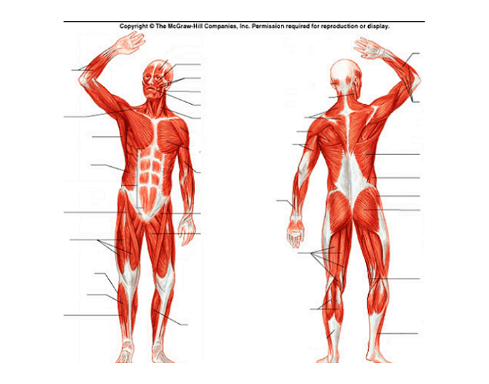 human muscular system diagram, Muscles