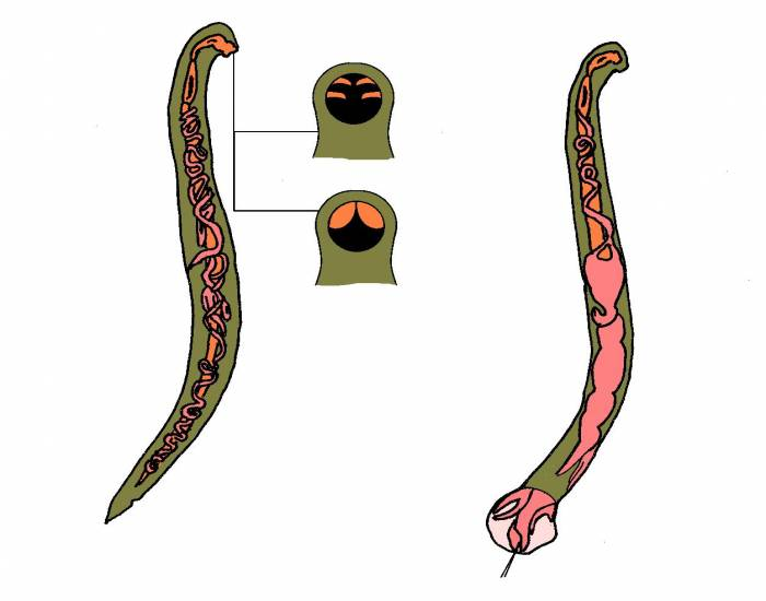 Hookworm - Male and Female