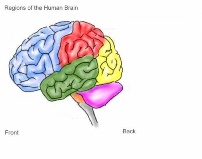 human brain research paper The human brain is the command center for the human nervous system it receives signals from the body's sensory organs and outputs information to the muscles.