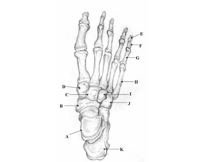 Bones Of The Foot And Ankle Purposegames