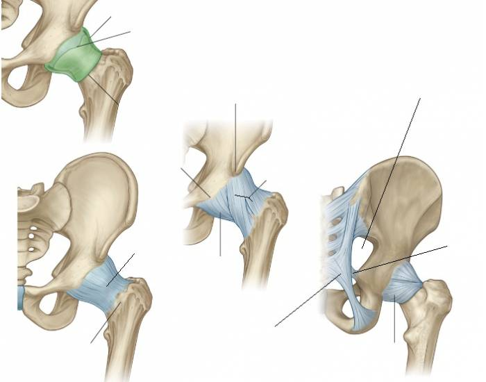 Hip Joint Ligaments Purposegames