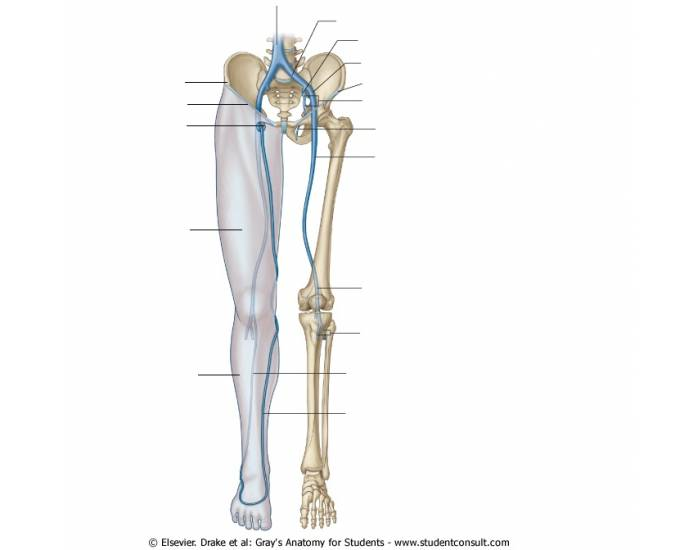 Lower Limb Veins - PurposeGames