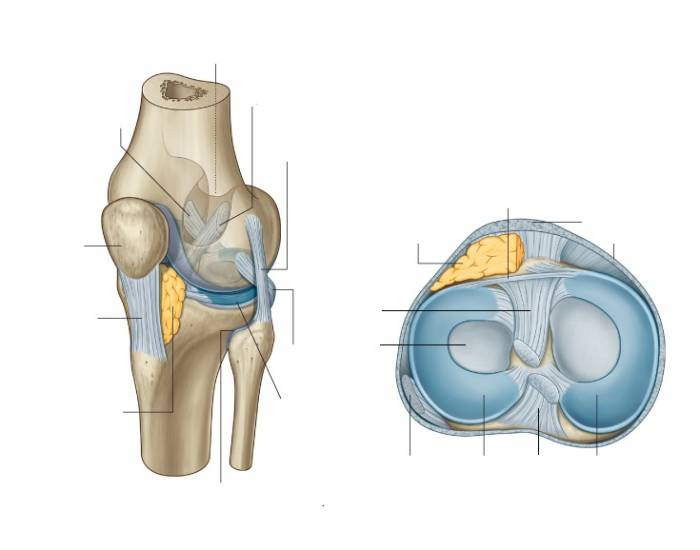 Knee Joint Anatomy - PurposeGames