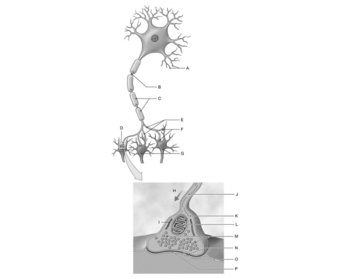 The Structure of a Synapse