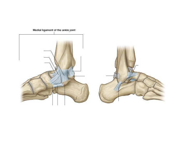 Ankle Ligaments Medial And Lateral Purposegames