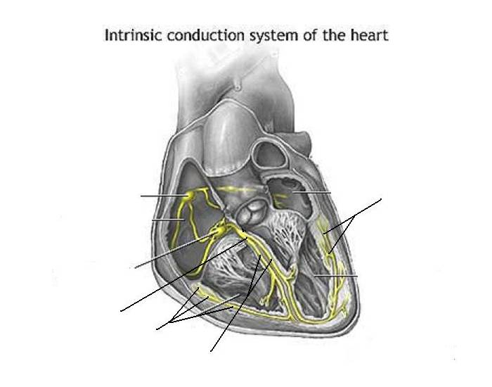 Intrinsic Conduction System Of The Heart Purposegames