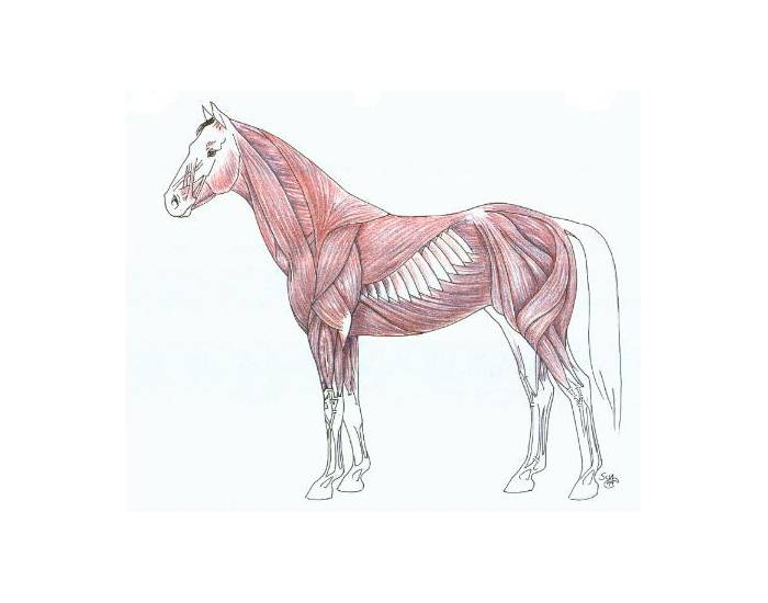Anatomy of a horse