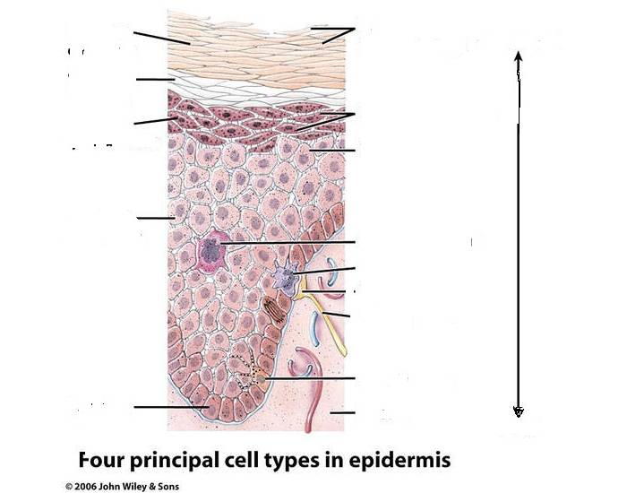 Epidermis cell types