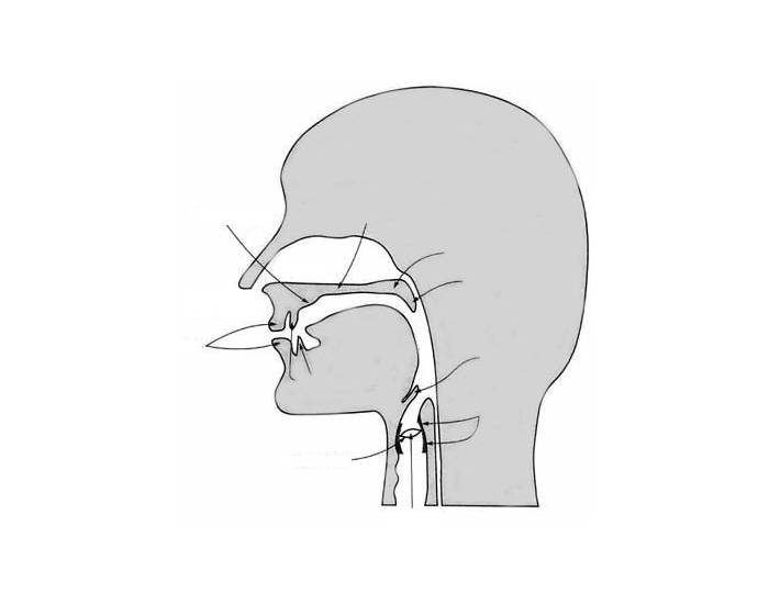 the vocal tract : vocal tract diagram - findchart.co