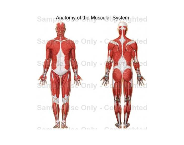The Muscular System Anterior And Posterior Purposegames