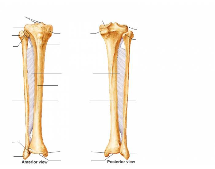 Anatomy Tibia and Fibula - PurposeGames