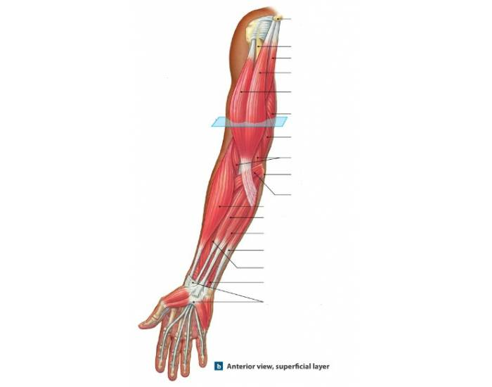 Anterior View Arm Muscles