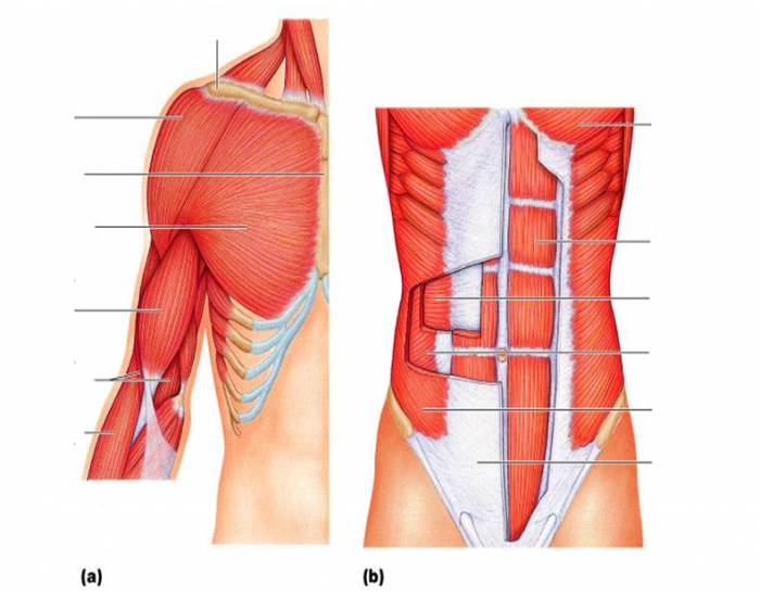 Anterior Trunk Shoulder And Arm Muscles Purposegames