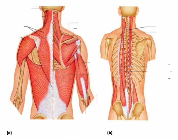 mucles of posterior neck, trunk, and arm - PurposeGames