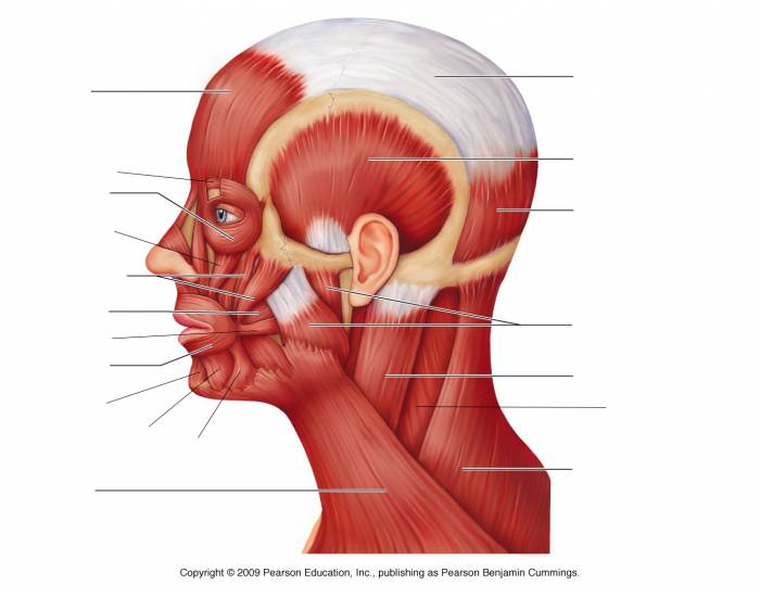 Bones and muscles of the face quiz