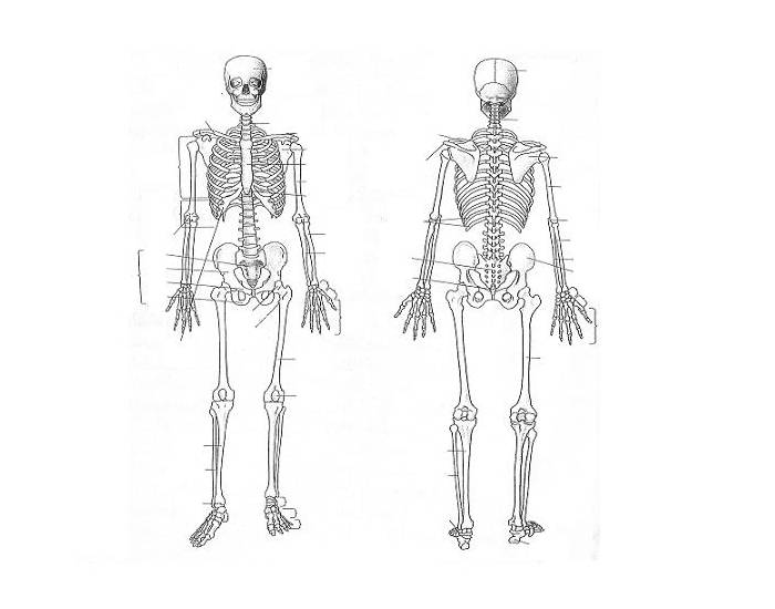 Axial And Appendicular Skeleton Parts Quiz Purposegames