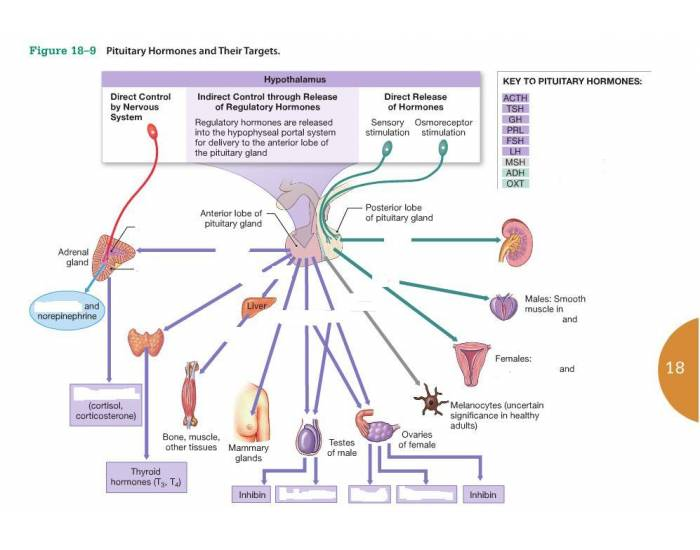 pituitary hormones and their targets purposegames