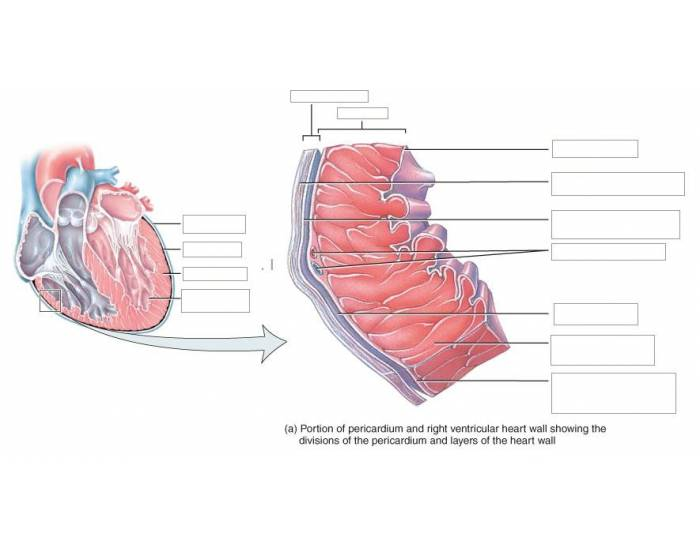 Pericardium and the heart wall purposegames ccuart Image collections