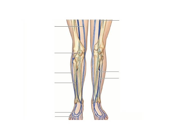 Major systemic veins