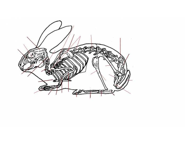 Veterinary Rabbit Skeleton