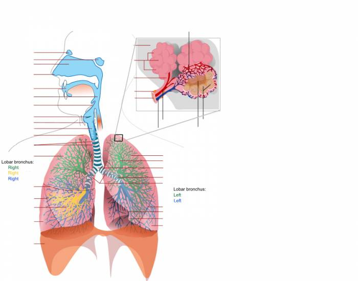 Human Respiratory System (Advanced)